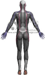 Study Thai Massage Online - Channels/ Sen/ Meridians - Sen Kalathari Back View mapped on human muscle anatomy