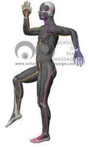 Study Thai Massage Online - Channels/ Sen/ Meridians - Sen Kalathari Side View mapped on human muscle anatomy