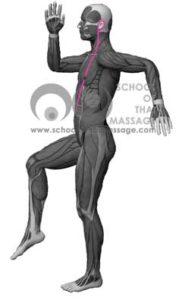Study Thai Massage Online - Sen Sip - Sen Lawusang Ulangka side view mapped on human muscle anatomy