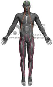 Study Thai Massage Online - Channels/ Sen/ Meridians - Sen Sahatsarangsi Thawari Front View mapped on human muscle anatomy